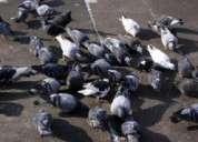 Fumigaciones, chuchuys de palomas, pulgas de palomas, fumigaciones 792-4646
