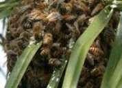 Fumigamos abejas, retiramos panales de abejas de los arboles 792-4646