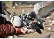 Fumigacion chuchuy de palomas  7968942 - 975255535