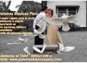 Alquilamos alquiler palomas blancas peru para bodas eventos y ceremonias