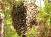 Abejas, fumigar abejas, retiro de panales de arboles, chimeneas, alturas lima