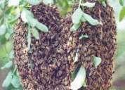 Empresa rtira panales de abejas, fumigar abejas, lima