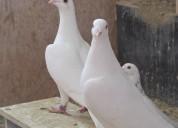 Palomas blancas peru alquilamos lima cel 999221346