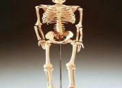 Maquetas esqueleto venta nueva