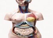 Maqueta torso humano bisexual venta nueva