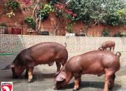 Reproductores porcinos arequipa marranas y verraco