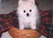 Cachorros de pomerania para su hogar