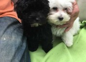 Cachorros maltipoo tiny adorable