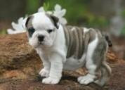 Cachorros bulldog ingleses adorables