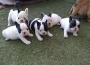 Cachorros de bulldog francés, machos y hembras