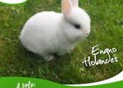 Conejos enanos arequipa