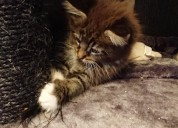 Impresionantes gatitos de maine coon disponibles