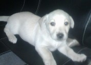 Cachorro labrador hembrita