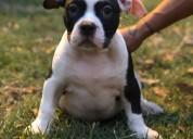 Venta de cachorros american bully 957098030