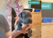Cachorro pitbull pitbull blueline