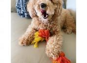 Hermoso cachorro maltipoo en venta