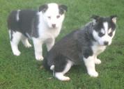 Cjuguetones cachorros de husky siberiano
