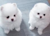*pequeños cachorros de pomerania